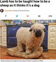 """【海外発!Breaking News】自分を""""犬""""と思い込んでいる羊 飼い主「草の食べ方さえも知らない」(英)"""