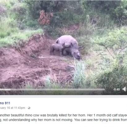 【海外発!Breaking News】角を切られ殺された母親、その乳を飲もうとする子サイ(南ア)<動画あり>