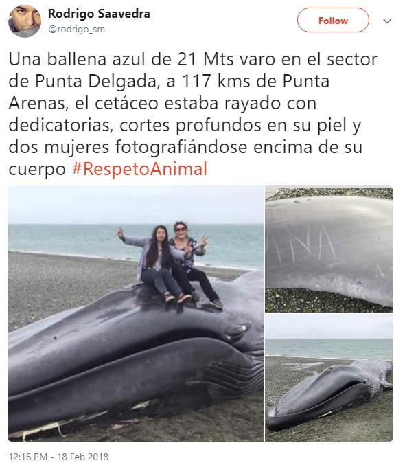 打ち上げられたクジラにやりたい放題(画像は『Rodrigo Saavedra 2018年2月18日付Twitter「Una ballena azul de 21 Mts varo en el sector de Punta Delgada, a 117 kms de Punta Arenas, el cetáceo estaba rayado con dedicatorias, cortes profundos en su piel y dos mujeres fotografiándose encima de su cuerpo #RespetoAnimal」』のスクリーンショット)