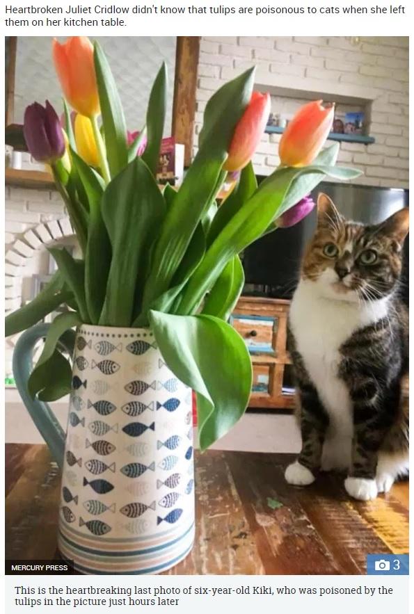 愛猫の最後の1枚となった写真(画像は『The Sun 2018年3月30日付「KILLED BY TULIPS Mum posts 'cute' pic of beloved cat posing next to tulips – only for flowers to kill pet 24 hours later」(IMAGE: MERCURY PRESS)』のスクリーンショット)