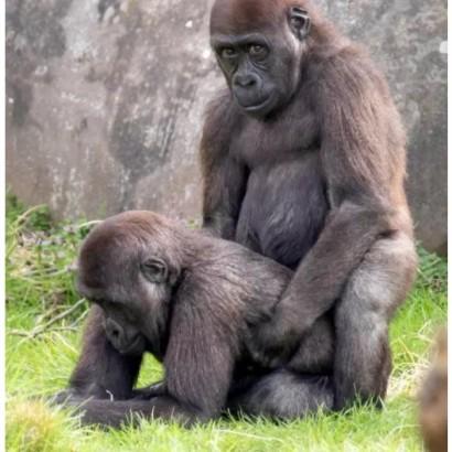 【海外発!Breaking News】動物園のゴリラ、雄同士で人目もはばからず愛の行為?(オランダ)