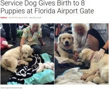 【海外発!Breaking News】空港で介助犬が8匹の赤ちゃんを出産 居合わせた客から拍手も(米)<動画あり>