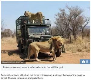 【海外発!Breaking News】野生動物保護区のオーナー、手塩にかけて育てたライオンに襲われる(南ア)