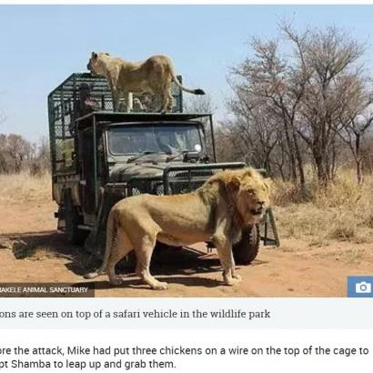 【海外発!Breaking News】野生動物保護区のオーナー、手塩にかけて育てたライオンに襲われる(南ア)<動画あり>
