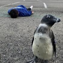 """【エンタがビタミン♪】ペンギン""""出川さん""""と倒れたスタッフ 東北サファリパークが「#GWロス」"""