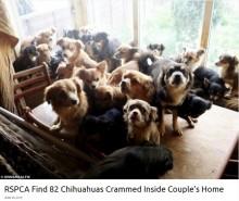 【海外発!Breaking News】亡くなった女性の家から82匹のチワワが発見される(英)
