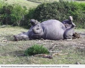 たった1cmの角のために殺されたサイ((画像は『Metro 2018年7月1日付「White rhino killed for 1cm horn despite vets removing most of it to protect her」(Picture: Ayesha Cantor/Caters)』のスクリーンショット)