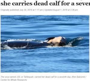 【海外発!Breaking News】出産直後に死んだ我が子を頭の上にのせて泳ぐ母シャチ(カナダ)<動画あり>