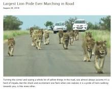 【海外発!Breaking News】息をのむ迫力! 15頭のライオンの群れに遭遇した一家(南ア)<動画あり>