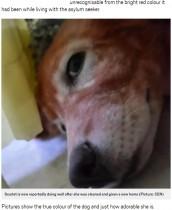 【海外発!Breaking News】染髪剤で全身真っ赤に染められた犬が救助される(ギリシャ)