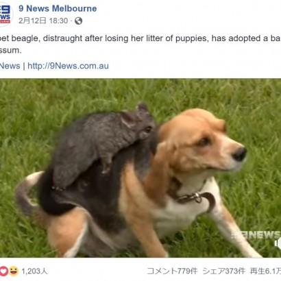【海外発!Breaking News】子どもを亡くしたビーグル犬、我が子同然にポッサムを可愛がる(豪)<動画あり>
