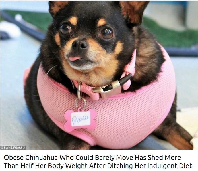 肥満の状態で引き取られたチワワ(画像は『real fix 2019年2月7日付「Obese Chihuahua Who Could Barely Move Has Shed More Than Half Her Body Weight After Ditching Her Indulgent Diet」』のスクリーンショット)