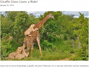 【海外発!Breaking News】キリンがライオンをおんぶ? 実は攻撃のひとコマ(南ア)<動画あり>