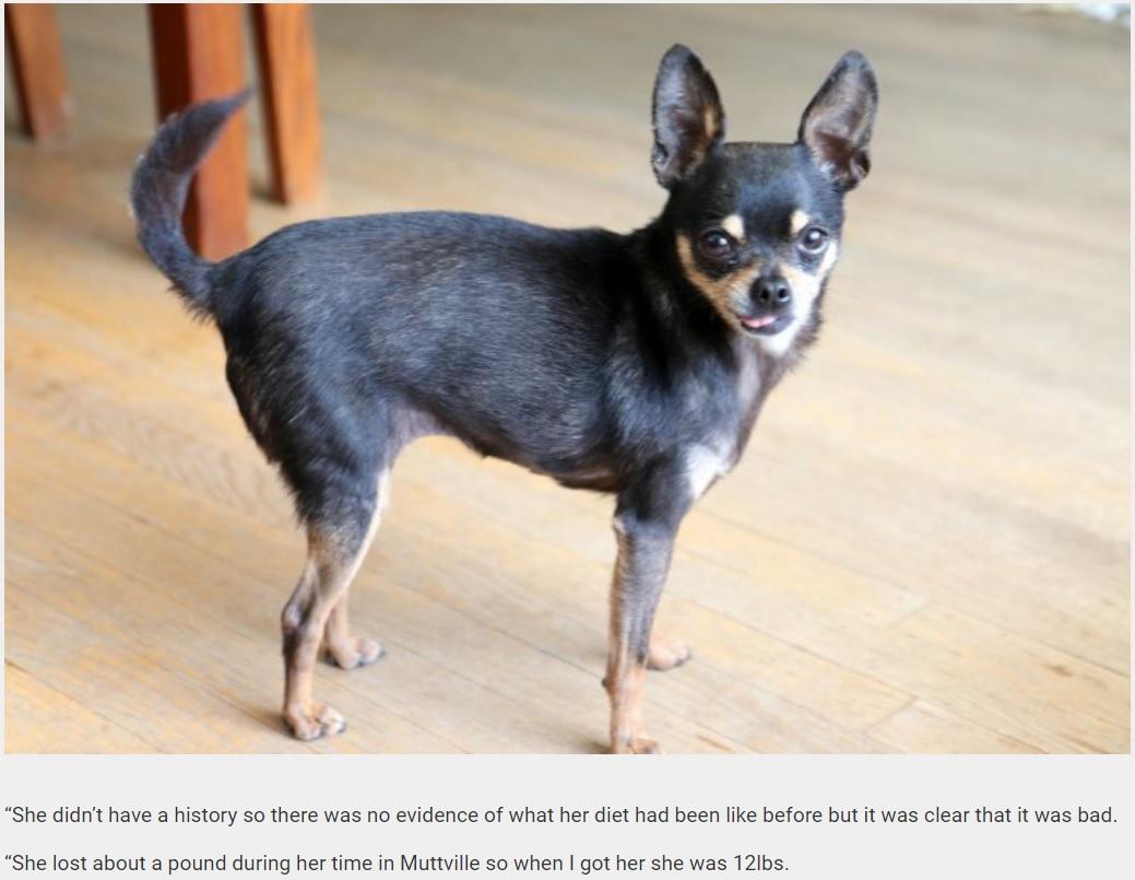 新しい飼い主のおかげでスリムになったバーサ(画像は『real-fix.com 2019年2月7日付「Obese Chihuahua Who Could Barely Move Has Shed More Than Half Her Body Weight After Ditching Her Indulgent Diet」』のスクリーンショット)
