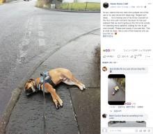 気に入らない散歩道で死んだふりをする犬(スコットランド)