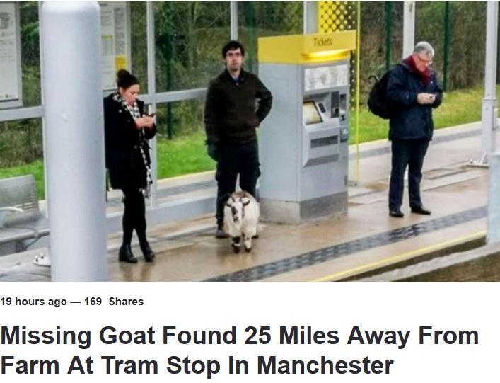 ホームにヤギという異様な光景も周囲はスマホに夢中…(画像は『LADbible 2019年3月17日付「Missing Goat Found 25 Miles Away From Farm At Tram Stop In Manchester」』のスクリーンショット)