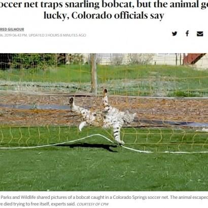 【海外発!Breaking News】サッカーネットに絡まったボブキャット、なんとか自力で脱出(米)