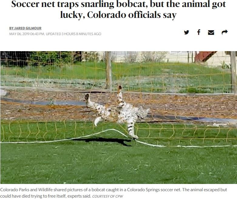 サッカーネットに絡まってしまったボブキャット(画像は『The Wichita Eagle 2019年5月6日付「Soccer net traps snarling bobcat, but the animal got lucky, Colorado officials say」(COURTESY OF CPW)』のスクリーンショット)