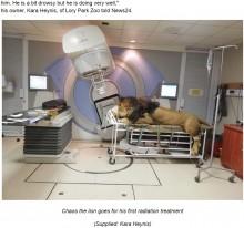 【海外発!Breaking News】皮膚がんのライオン、一般病院で放射線治療受ける(南ア)