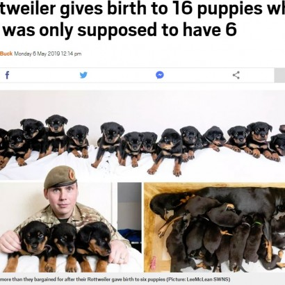 【海外発!Breaking News】「お腹の子は6匹」と言われたロットワイラー犬、続々と16匹誕生(英)