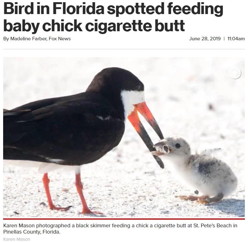 餌と勘違いしてタバコの吸い殻をひなに与える親鳥(画像は『New York Post 2019年6月28日付「Bird in Florida spotted feeding baby chick cigarette butt」(Karen Mason)』のスクリーンショット)
