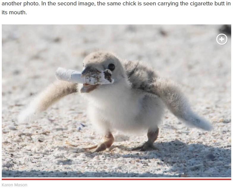 タバコの吸い殻をくわえるひな鳥(画像は『New York Post 2019年6月28日付「Bird in Florida spotted feeding baby chick cigarette butt」(Karen Mason)』のスクリーンショット)