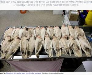 中毒死したとみられるテンジクバタン(画像は『ABC News 2019年7月11日付「Dozens of corellas believed poisoned after 'falling out of the sky' near Adelaide primary school」(Facebook: Caspers Bird Rescue)』のスクリーンショット)