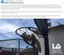 【海外発!Breaking News】バスケットゴールに絡まったアライグマ、救出され無事母親のもとに(米)<動画あり>