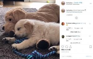 子犬だった頃のバーリー(画像は『Barley 2018年12月25日付Instagram「Uh oh, food coma」』のスクリーンショット)