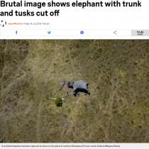 【海外発!Breaking News】象牙ビジネスの悲惨な現実 顔がえぐられ鼻が切り離されたゾウ(ボツワナ)