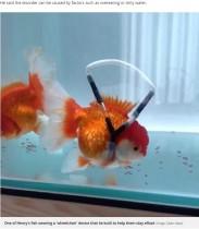 """【海外発!Breaking News】逆さまに泳ぐ金魚が""""車椅子""""で寿命延びる(韓国)<動画あり>"""
