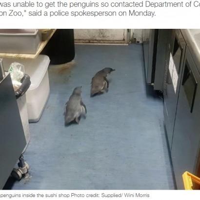 【海外発!Breaking News】寿司バーに侵入したペンギン2羽を保護 魚の匂いにつられた?(ニュージーランド)<動画あり>