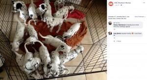 元気なダルメシアンの子犬たち(画像は『ABC Goulburn Murray 2019年7月28日付Facebook「WARNING: CUTENESS OVERLOAD」』のスクリーンショット)