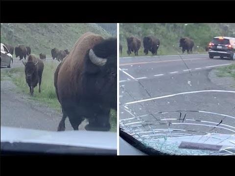 迫るアメリカバイソンと衝突されてヒビが入ったフロントガラス(画像は『Caters Clips 2019年8月20日公開 YouTube「Bison Stampede Smashes Car Window」』のサムネイル)