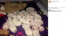 【海外発!Breaking News】1回のお産で19匹の子犬が誕生 ダルメシアンの世界記録を更新(豪)