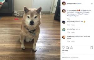 【海外発!Breaking News】「怒ってるの?」不機嫌そうな柴犬がSNSで人気急上昇中(米)
