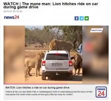 【海外発!Breaking News】車に興味津々のライオン、ボンネットに飛び乗る(南ア)<動画あり>