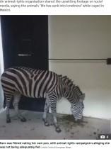 動物園で自分の糞を食べるシマウマ 財政難でエサがなく(メキシコ)