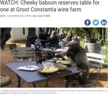 【海外発!Breaking News】レストランに出没した野生ヒヒ 客が注文した料理を横取り(南ア)