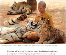 【海外発!Breaking News】トラ86頭、タイの寺院から保護された後に死ぬ ストレス原因か
