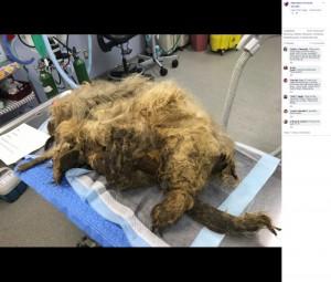 トリミングされる前のエリー・メイ(画像は『Nebraska Humane Society 2019年9月13日付Facebook「Check out how our NHS staff gave a second chance to a neglected dog.」』のスクリーンショット)