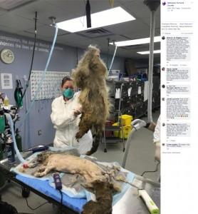 4キロもあった毛の塊(画像は『Nebraska Humane Society 2019年9月13日付Facebook「Check out how our NHS staff gave a second chance to a neglected dog.」』のスクリーンショット)