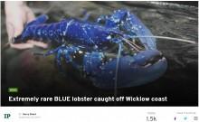 【海外発!Breaking News】200万匹に1匹 青いロブスターが水揚げされる(アイルランド)