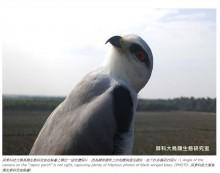 【海外発!Breaking News】まるで自撮り ドヤ顔する野生のトビの写真に「いいね!」1万9000超え(台湾)