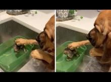 【海外発!Breaking News】怯える生後4週間の猫を優しく撫でる犬(米)<動画あり>
