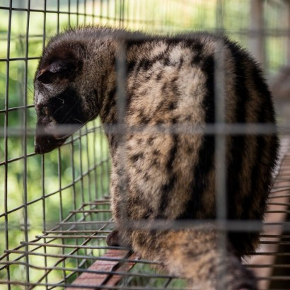 【海外発!Breaking News】1杯1万円ものコーヒーの影で、ジャコウネコの悲惨な飼育状況(ベトナム)
