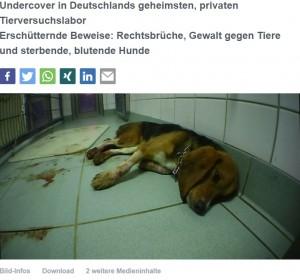 血を流して苦しむ犬(画像は『Presseportal 2019年10月13日付「Undercover in Deutschlands geheimsten, privaten Tierversuchslabor Erschütternde Beweise: Rechtsbrüche, Gewalt gegen Tiere und sterbende, blutende Hunde」』のスクリーンショット)