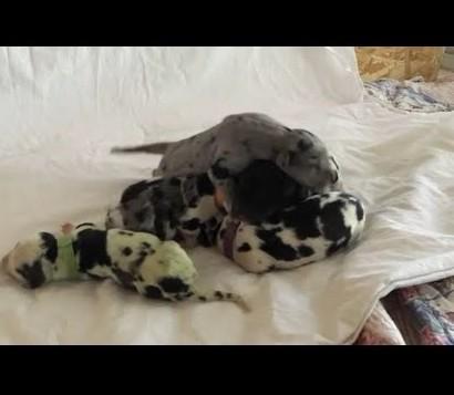 【海外発!Breaking News】グレート・デーンから緑色の仔犬が誕生(米)<動画あり>