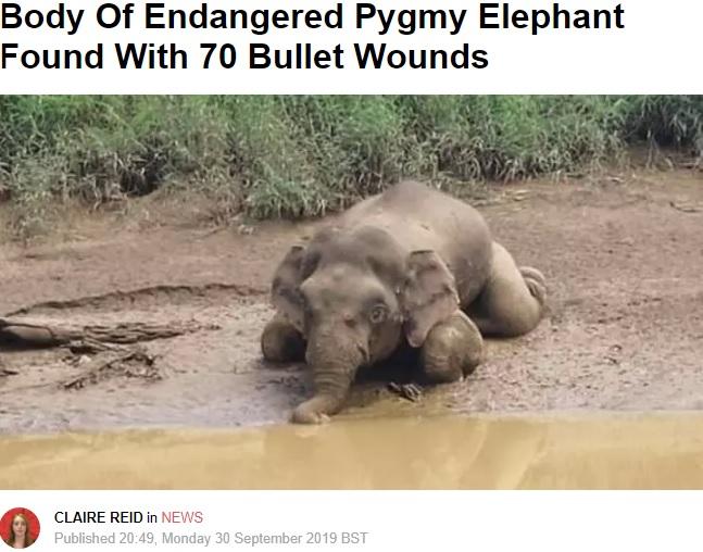 銃弾70発を受け牙を取られたボルネオゾウ(画像は『LADbible 2019年9月30日付「Body Of Endangered Pygmy Elephant Found With 70 Bullet Wounds」』のスクリーンショット)