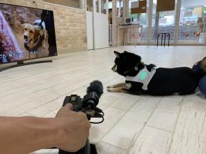『HAWAII FIVE-0』シーズン8 第2話に登場した忠犬エディを見つめる柴犬